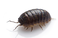 Pill Bugs Sow Bugs D And S Termite And Pest Control