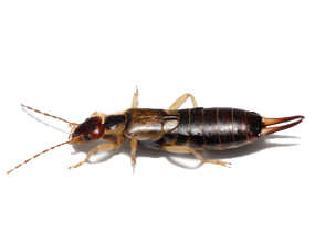 Earwigs D And S Termite And Pest Control