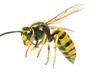 Wasps Removal in San Diego